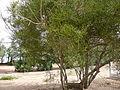 Euphorbia tirucalli 0001.jpg