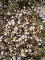 Euphrasia alpina 001.JPG