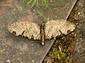 Eupithecia insigniata (14056037186).jpg