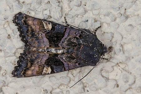 Euplexia lucipara01(js), Lodz(Poland).jpg