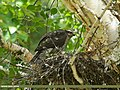 Eurasian Sparrowhawk (Accipiter nisus) (30500935621).jpg