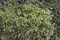 Eurhynchium striatum IMG 4572.JPG