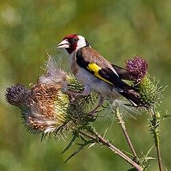 European Goldfinch on Spear Thistle.jpg