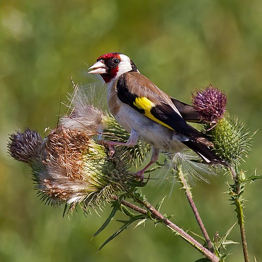 European Goldfinch on Spear Thistle
