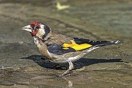 European goldfinch (Carduelis carduelis niediecki) Cyprus.jpg