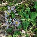Eurybia macrophylla capitulescence.jpg