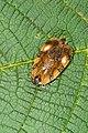 Eurydoxa tetrakore (25650036404).jpg