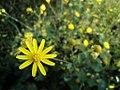 Euryops pectinatus beauty.jpg