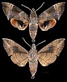 Eurypteryx alleni MHNT CUT 2010 0 370 Puncak Palopo Sud Sulawesi male.jpg
