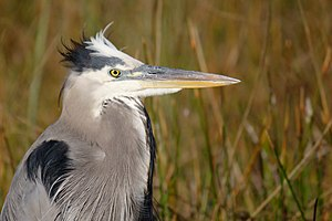 Everglades National Park - A great blue heron at Anhinga Trail