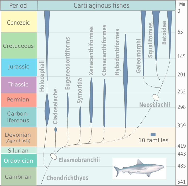 Evolution of cartilaginous fishes