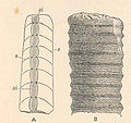 FMIB 48760 Section of Orthocerus, showing the septa (s,s) and siphuncle (si,si) (A) ;.jpeg