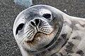 Face of Weddell Seal.jpg