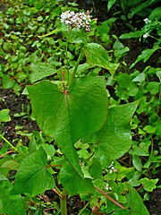Pohánka (Fagopyrum esculentum)