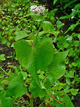 Fagopyrum esculentum 002
