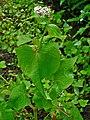 Fagopyrum esculentum 002.JPG