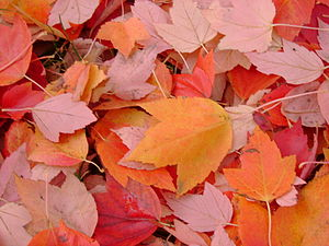 English: Fall leaves in Eugene, Oregon