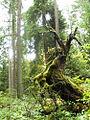 Fallen tree (4063595286).jpg
