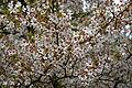 Feeringbury Manor flowering prunus, Feering Essex England.jpg