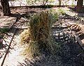 Feixos de blat, jardí botànic de València.JPG