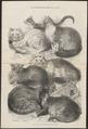 Felis catus - 1871 - Print - Iconographia Zoologica - Special Collections University of Amsterdam - UBA01 IZ22100278.tif