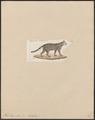 Felis torquata - 1834 - Print - Iconographia Zoologica - Special Collections University of Amsterdam - UBA01 IZ22100266.tif