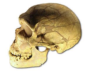 Cráneo de un H. neanderthalensis