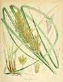 Festuca foliosa n114 w1150.jpg