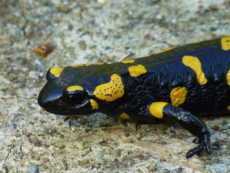 Feuersalamander (Salamandra salamandra) 2011-05-08