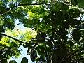 Ficus dammaropsis Diels (AM AK289874-1).jpg