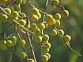 Ficus exasperata IMG 2123.jpg