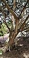 Ficus petiolaris - Habitus.jpg
