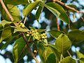 Ficus virens ? (3188511526).jpg