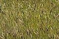 Field of Weeds (2636333676).jpg