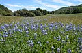 Field of miniature lupine (Lupinus bicolor) (26843951090).jpg