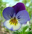 Fiołek ogrodowy wisnia6522.jpg