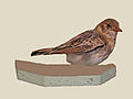 Fischers Sparrow-Lark female specimen RWD.jpg