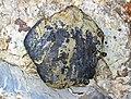 Fish bone (Chattanooga Shale, Upper Devonian; Burkesville West Rt. 90 roadcut, Kentucky, USA) 1 (41446569415).jpg