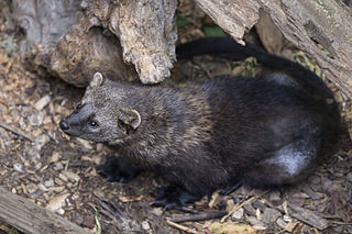 Fisher (animal) Species of small, carnivorous mammal native to North America