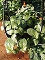 Fittonia albivenis2.jpg