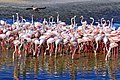 Flamingos at the Ras Al Khor Wildlife Sanctuary, Dubai.jpg