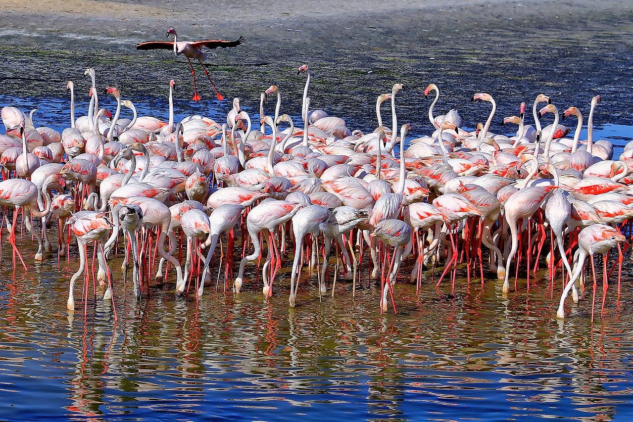 File:Flamingos at the Ras Al Khor Wildlife Sanctuary, Dubai.jpg ...