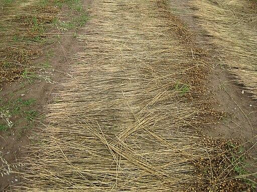 Flax field Fecamp 02