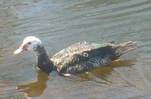 Muscovy Duck Wikipedia