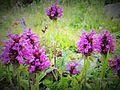 Fleur en Vanoise (4).JPG