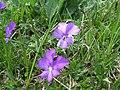 Fleur inconnue - panoramio (7).jpg