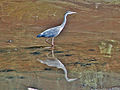 Flickr - Duncan~ - Heron Hunting.jpg