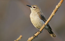 Flickr - Rainbirder - Mouse-brown Sunbird (Anthreptes gabonicus).jpg