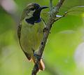 Flickr - Rainbirder - Plain-backed Sunbird male (Anthreptes reichenowi).jpg