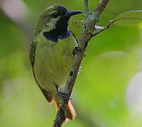 Flickr - Rainbirder - Plain-backed Sunbird male (Anthreptes reichenowi)